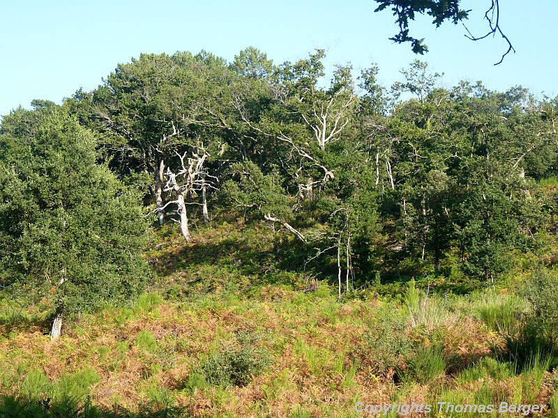 Oak forests are more common on rocky soils than on the sandy dunes.