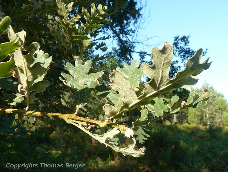The foliage of oak trees is often bluish-grey from a heavy layer of wax. Some species, such as Quercus pubescens, have fine layers of felt on their foliage, especially on the undersides, to provide protection from desiccation.