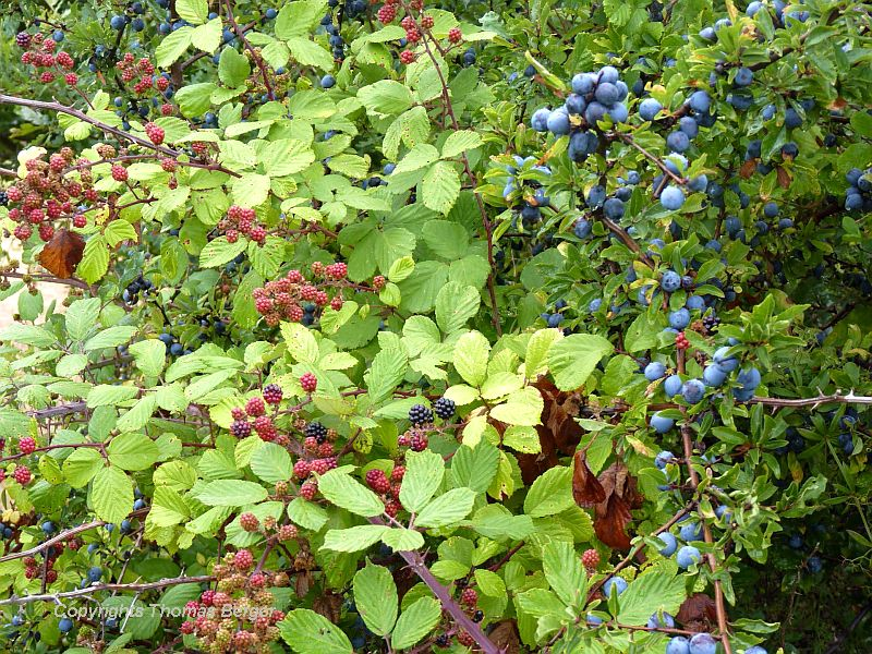Blackberries (Rubus fruticosus) make for a good snack, but blackthorn (also called sloe) (Prunus spinosa) can only be eaten after a frost, and even then is better left to the jelly jar.