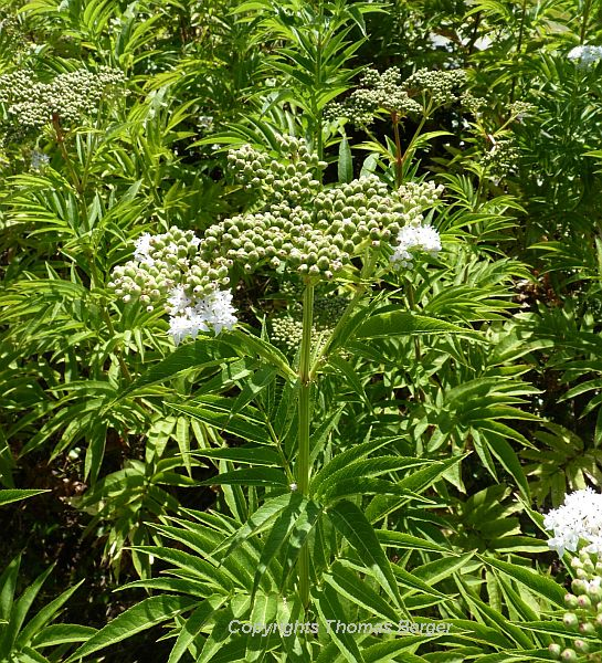 This perennial elderberry (Sambucus ebulus) was common on roadsides. It is a poisonous species and not eaten by cattle.