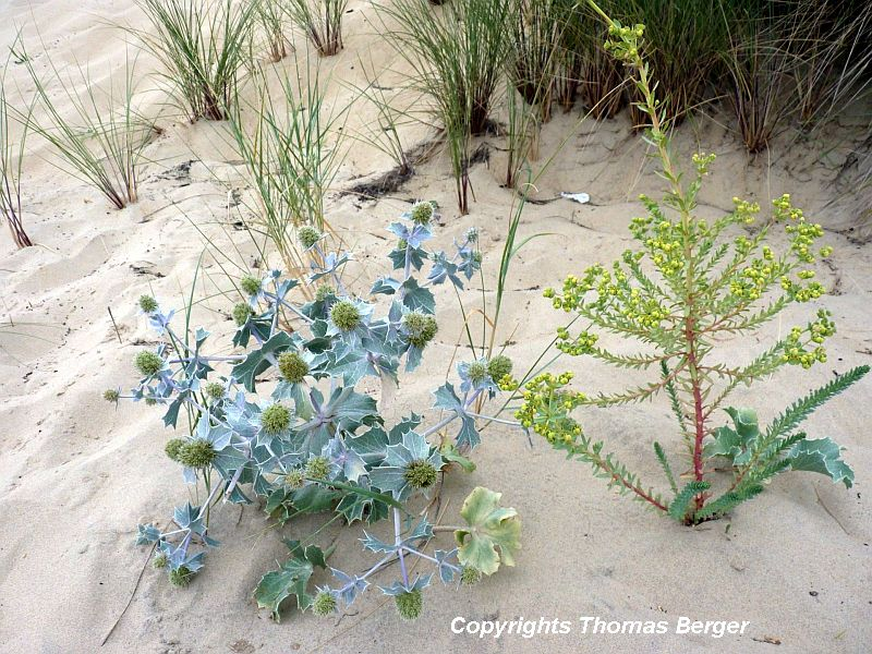 Slightly up the beach, where the waves reach less frequently, a wider range of plants can be found.