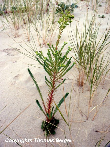 Sea Spurge (Euphorbia parallias) is widespread on the upper beach.