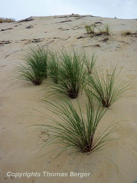 European Marram Grass, also called European Beach Grass (Ammophila arenaria), is salt tolerant and well-adapted to the sand dune habitat of the Atlantic coast.