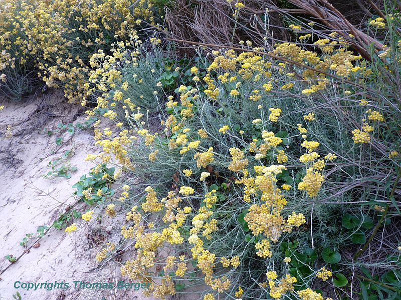 Shrubby Everlasting (Helichrysum stoechas) has linear leaves that minimize water loss. It blooms with yellow flowers during the summer.