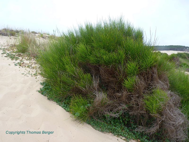 Among the woody plants at the foot of sand dunes are the Common Broom (Cytisus scoparius).