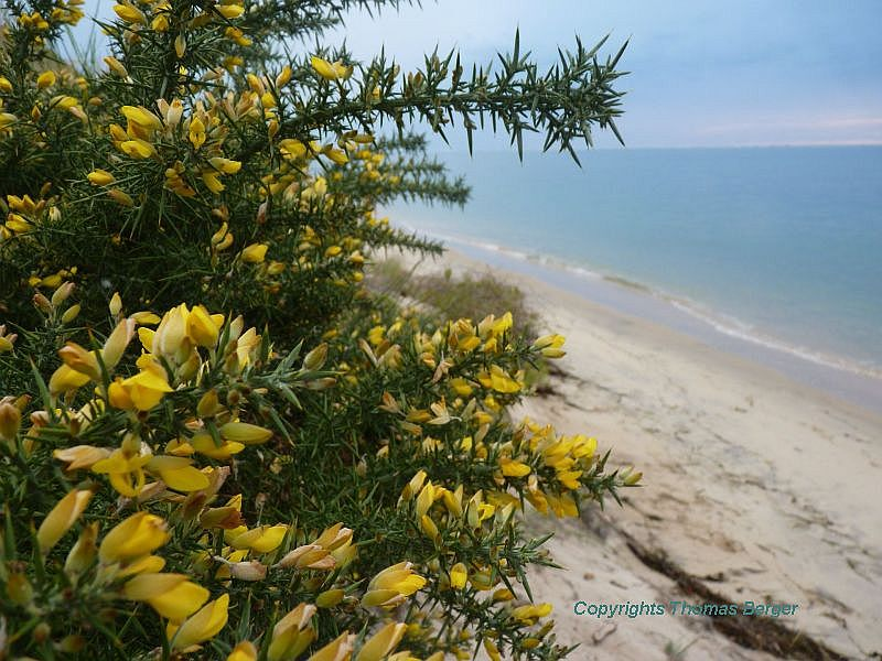Common Gorse (Ulex europaeus) is a very thorny plant with the appearance of and in the same family (Fabacea) as Common Broom. Historically, it was hit with a big stone to break the thorns and fed to horses, goats and sheep.