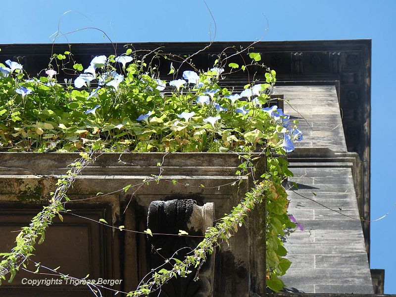 Houses in Bordeaux do not often have flower displays but occasionally one can find some creative plant displays, such as these 'Heavenly Blue' Morning Glories greening up a balcony (seen from below).