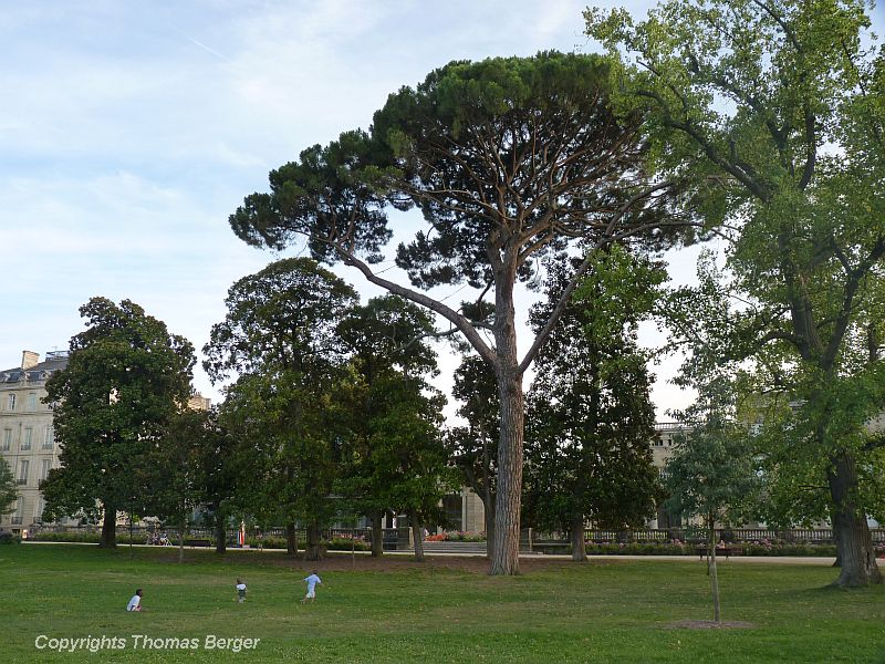 This is one of the largest Stone Pines (Pinus pinea) I have ever seen. Since older specimens often display a distinctive umbrella shape, it is also often called Umbrella Pine (not to be confused with Japanese Umbrella Pine). This tree provides edible pine nuts. Unfortunately, it is threatened in many parts of its native range (the Mediterranean) by a bug that was accidentally introduced from North America.