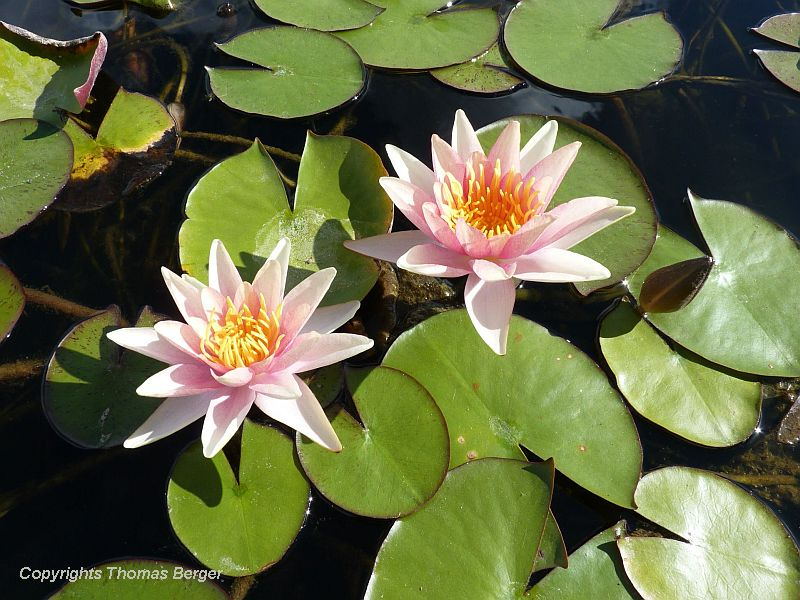 A large pond within the Jardin Botanique contains a nice collection of water lilies and many other water-garden plants. Seen here is waterlily 'Apache'.
