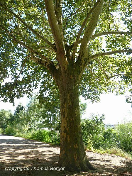 Sycamore is one of the most common street trees. The wide open crown casts a pleasant shade of olive-green tinted light, and the mottled bark adds to the whimsy.