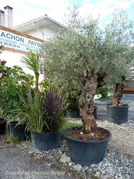 Landscaping enterprises frequently offer specimen trees such as these mature olive trees for sale.