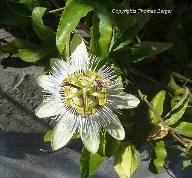 Passionflower (Passiflora) is frequently found growing on fences.