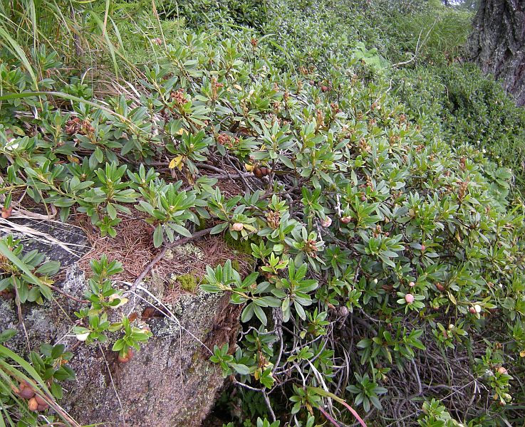 As we climbed higher we entered the forests, which had a dense undergrowth containing Rhododendron hirsutum, a Rhododendron species adapted to lime-rich soils.