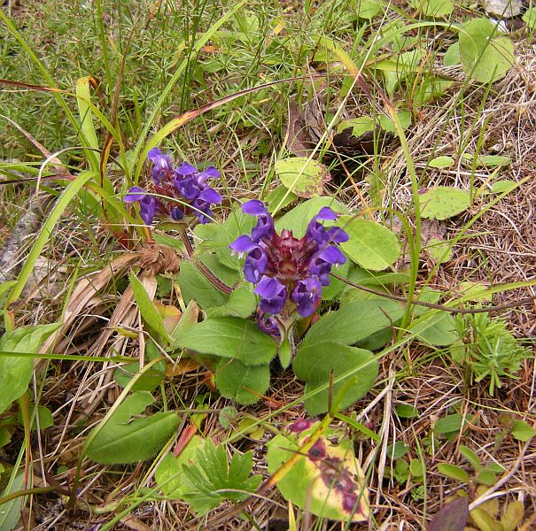 A low-growing flower named Prunella vulgaris.