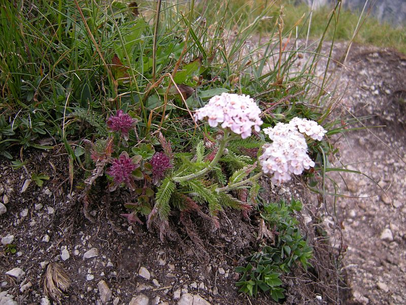 A species of Achillea similar to the common Achillea millefolium, but shorter in habit.