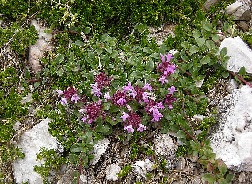 Thymus serphyllum, also common elsewhere in Europe.