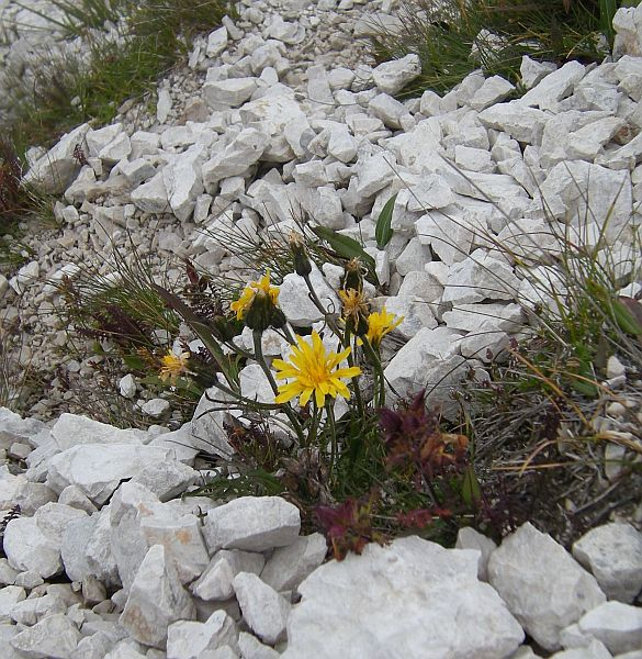One of the countless Hieracium species.