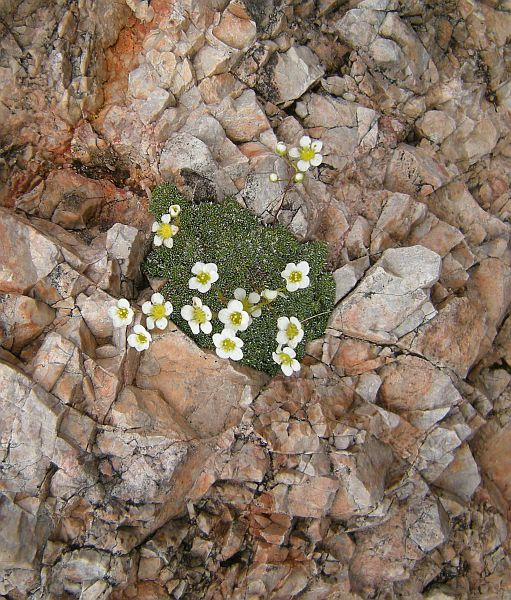 Saxifrages are very common in alpine rock walls. Many species form dense mounds of tiny foliage.