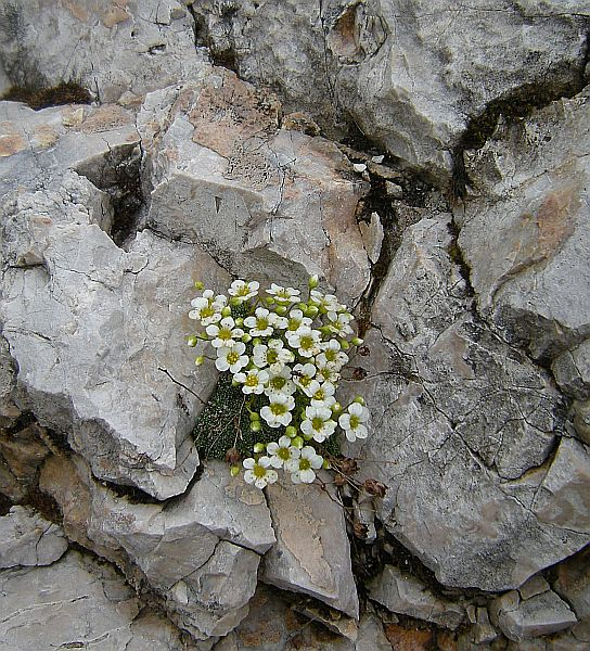A tiny saxifrage anchored among some rocks.
