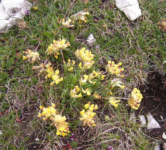 Pictured above is Lotus alpinus, another common alpine plant.