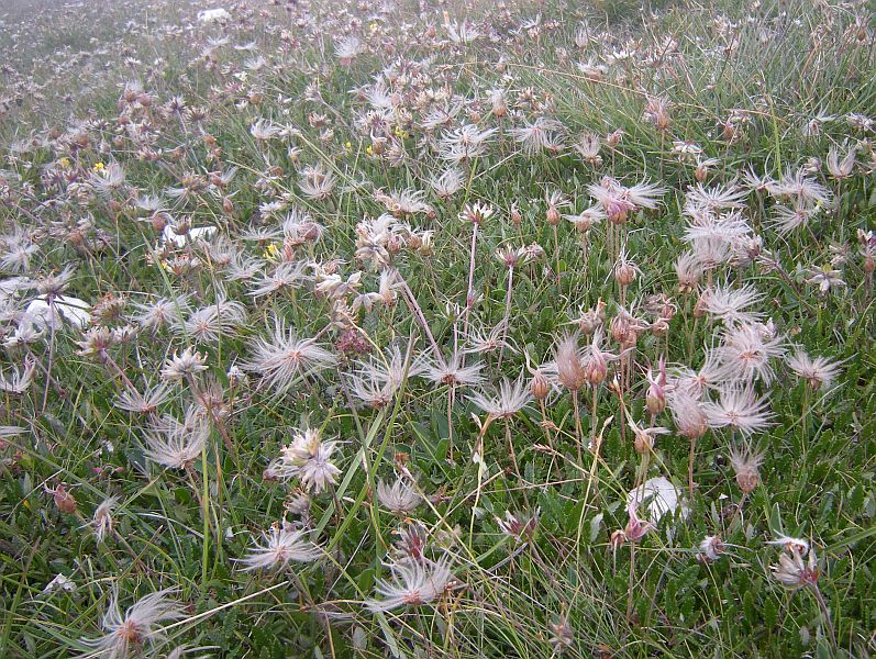 Dryas octopetala forms extensive drifts on high mountain meadows. In August, the flowers are gone but it is still beautiful with its fluffy seed heads. This plant was very widespread during the Ice Age, covering the plains of the barren glacial landscape where the Woolly Mammoth roamed.