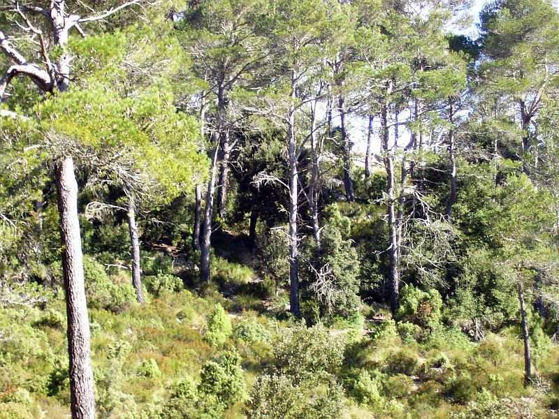 Pine forests can be found where the soil is still intact. This one also has a rich understory vegetation that will support wildlife and provide refuge for many plant species.