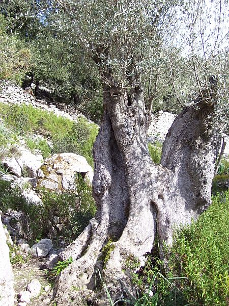 Pictured above is an old olive tree (Olea europaea).