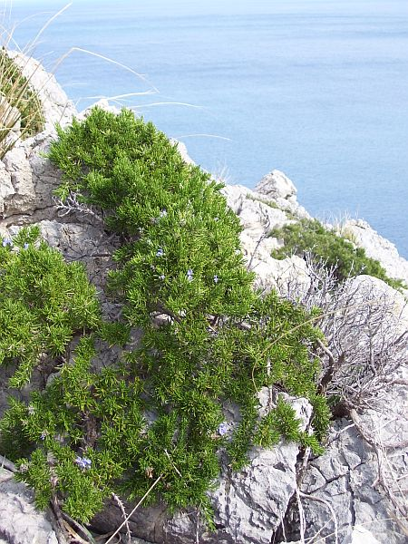 Rosemary (Rosmarinus officinalis) is a typical subshrub of the macchie.