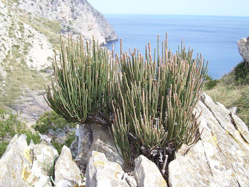 Ephedra stems resemble equisetum (horsetail).