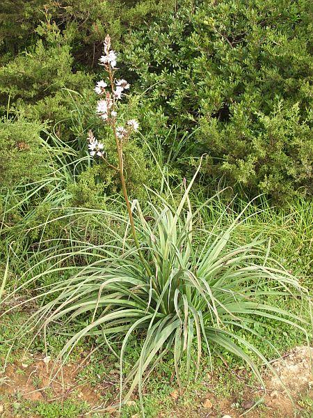 Asphodelus aestivus has thick, almost succulent leaves.