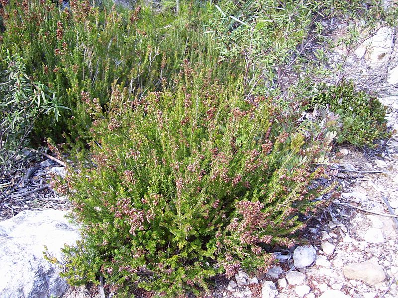 Heather species (Erica) are common in the Mediterranean landscape.