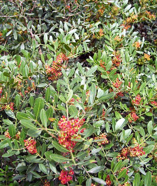 Cneorum tricoccon, an evergreen shrub.