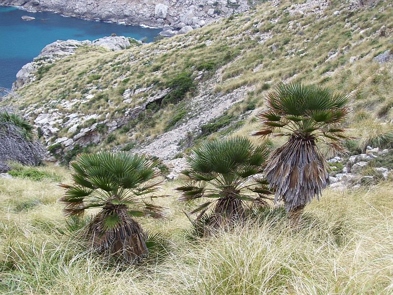 Chamaerops humilis is one of two palm species that are native to the Mediterranean. The other species is Phoenix canarensis.
