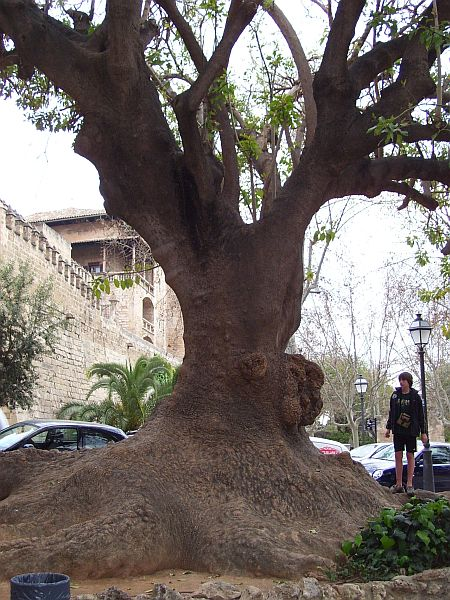 A ficus tree with an enormous trunk is the centerpiece of a small park in Palma.