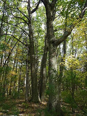 New England vegetation consists of hardwood forests that also contain White Pine and Hemlock. Spruce and Fir forests are found in the north and in the mountains. The natural vegetation of some coastal areas consists of pine barrens, containing Pitch Pine. However, these habitats have become very rare in recent years.