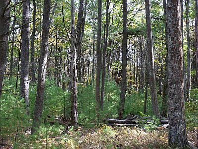 As the land was abandoned, new forests took over, consisting initially of Birch and White Pine, but later of hardwoods as well, especially Red Oak.