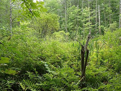 swamp at Kittery point forest-P1140211-300.jpg