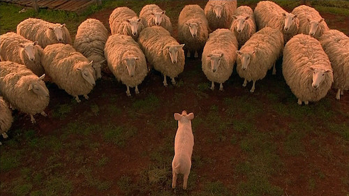 Babe communicating with a flock of sheep.