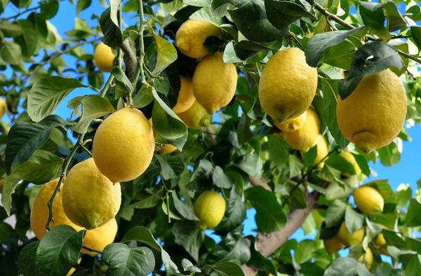 eureka-lemon2_600x.png
