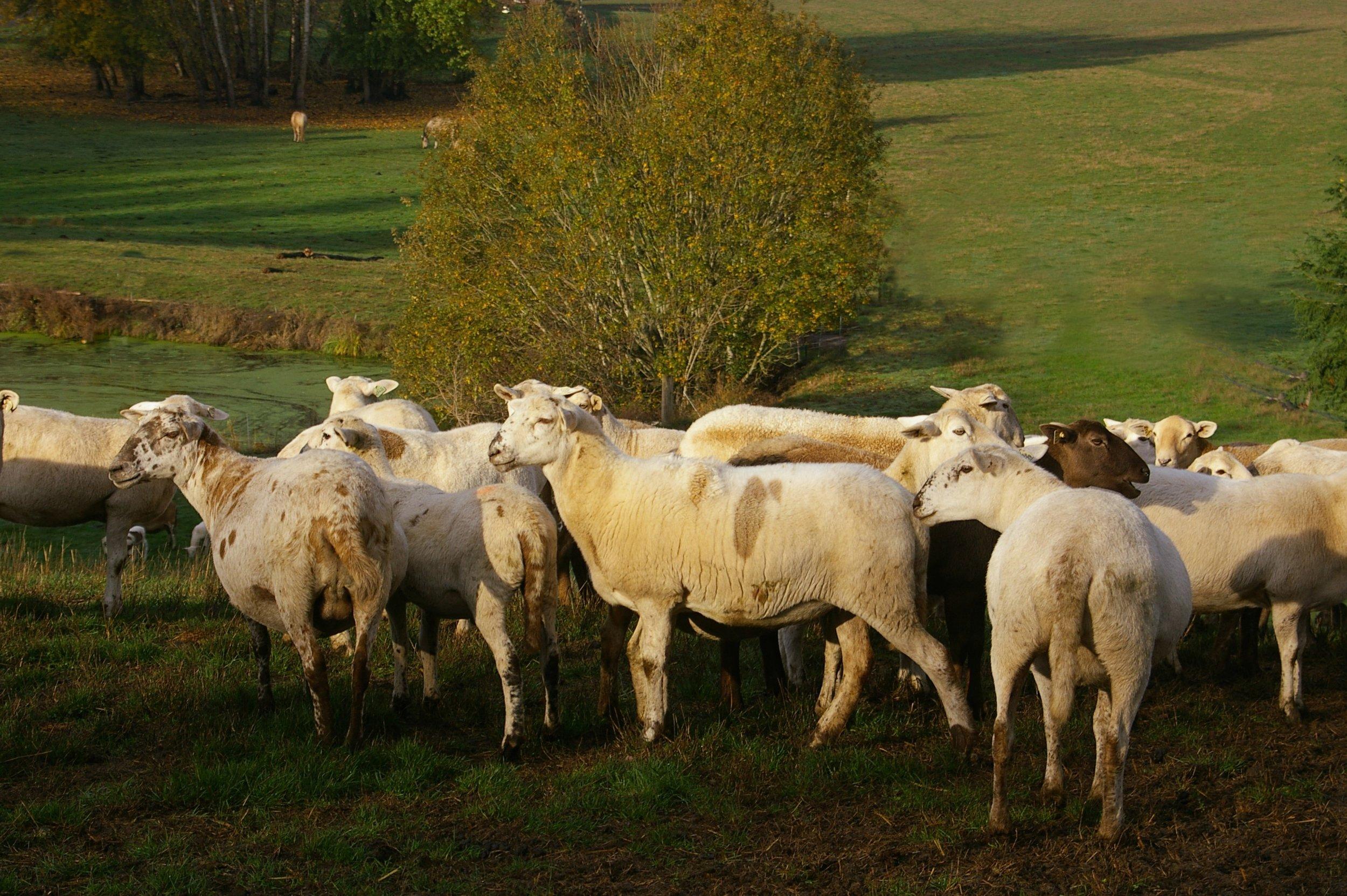 meatmakers, ewe production 2015.jpg