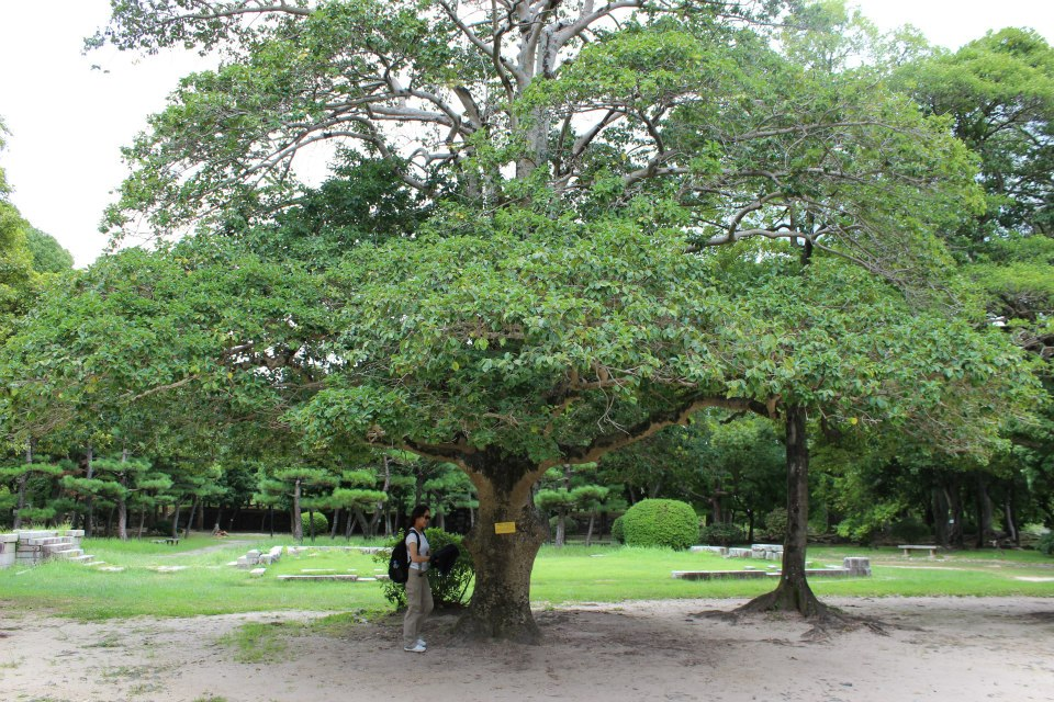 This 100-year-old tree, located to nearly the center of the explosion, miraculously survived the nuclear bombing.