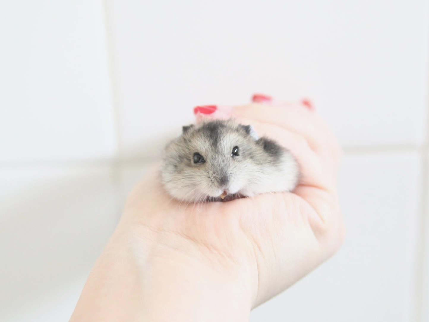 About - We are a volunteer-run organisation dedicated to the promotion of humane care of pet hamsters. We want to address the neglect, abuse and abandonment of one of the more neglected pet animals in Singapore.
