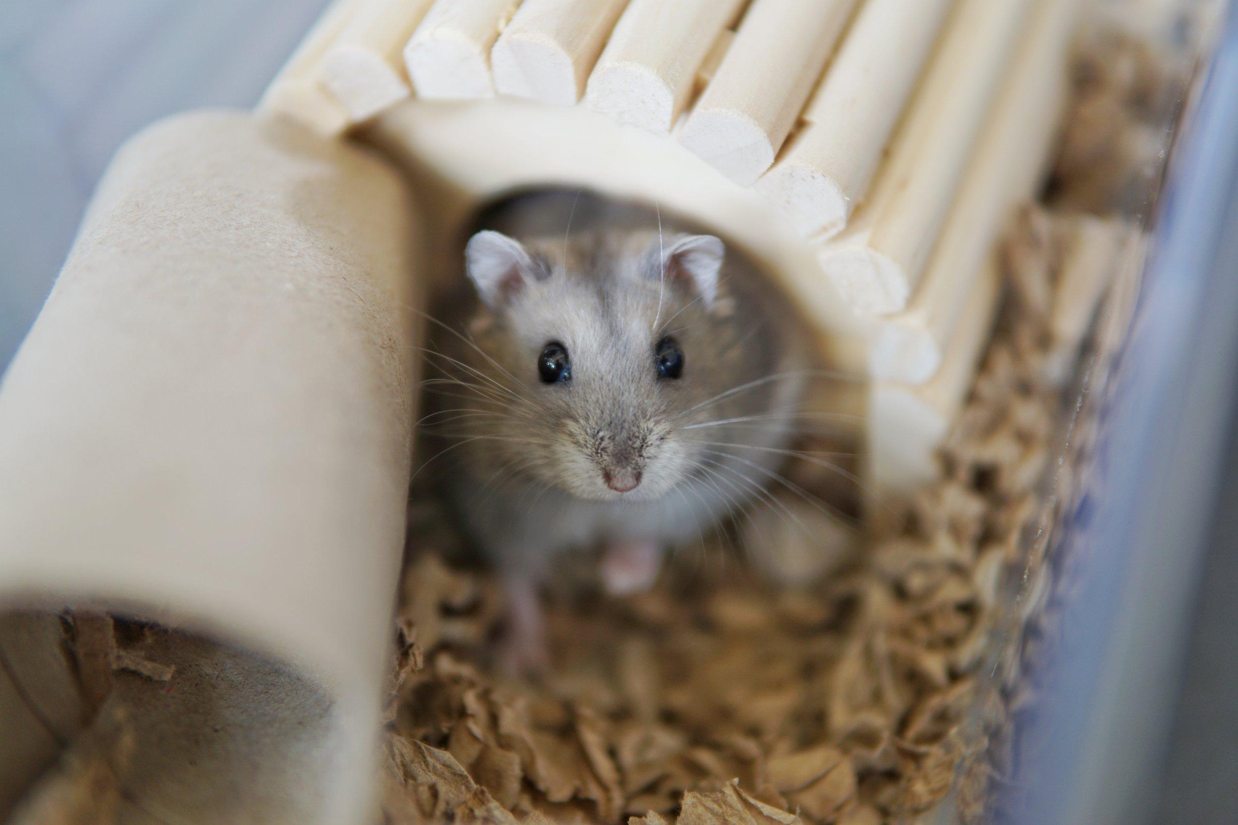 Hamster Species — Hamster Society (Singapore)