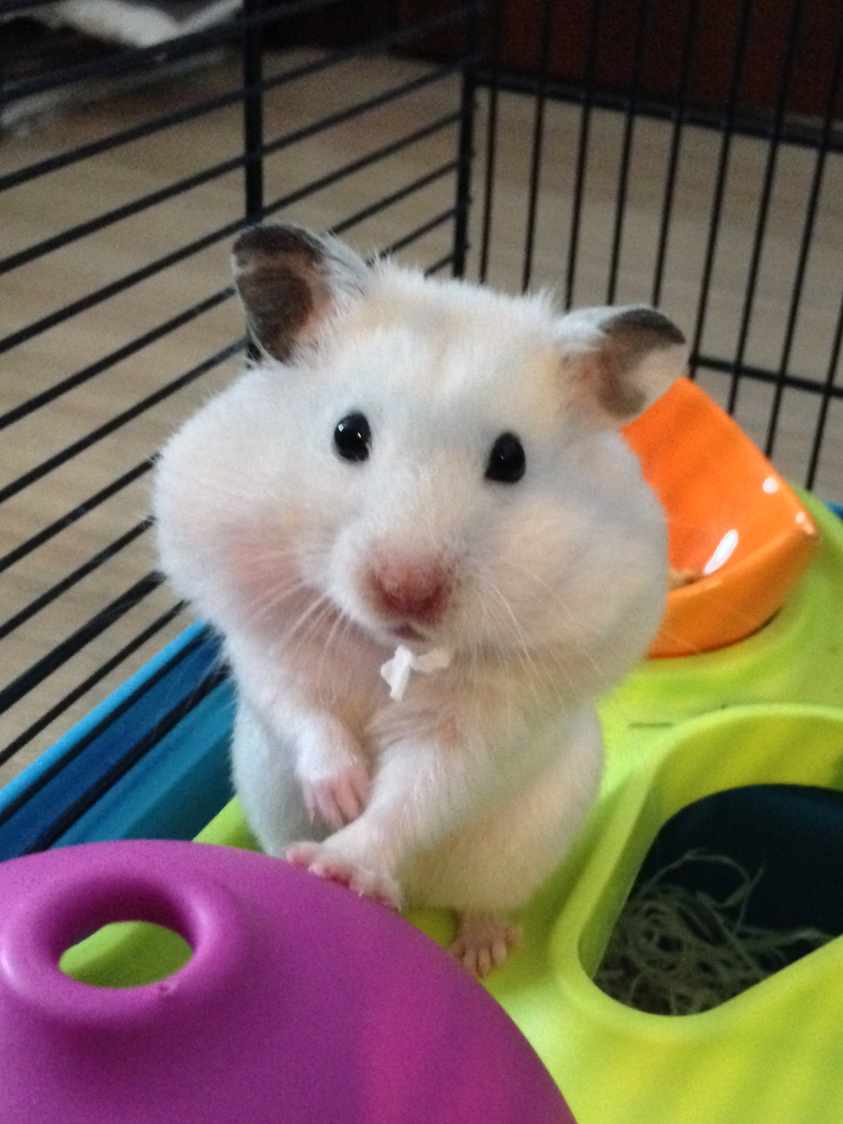 Can Hamsters be Kept Together? — Hamster Society (Singapore)