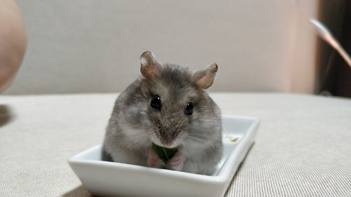 Common Hamster Illnesses — Hamster Society (Singapore)