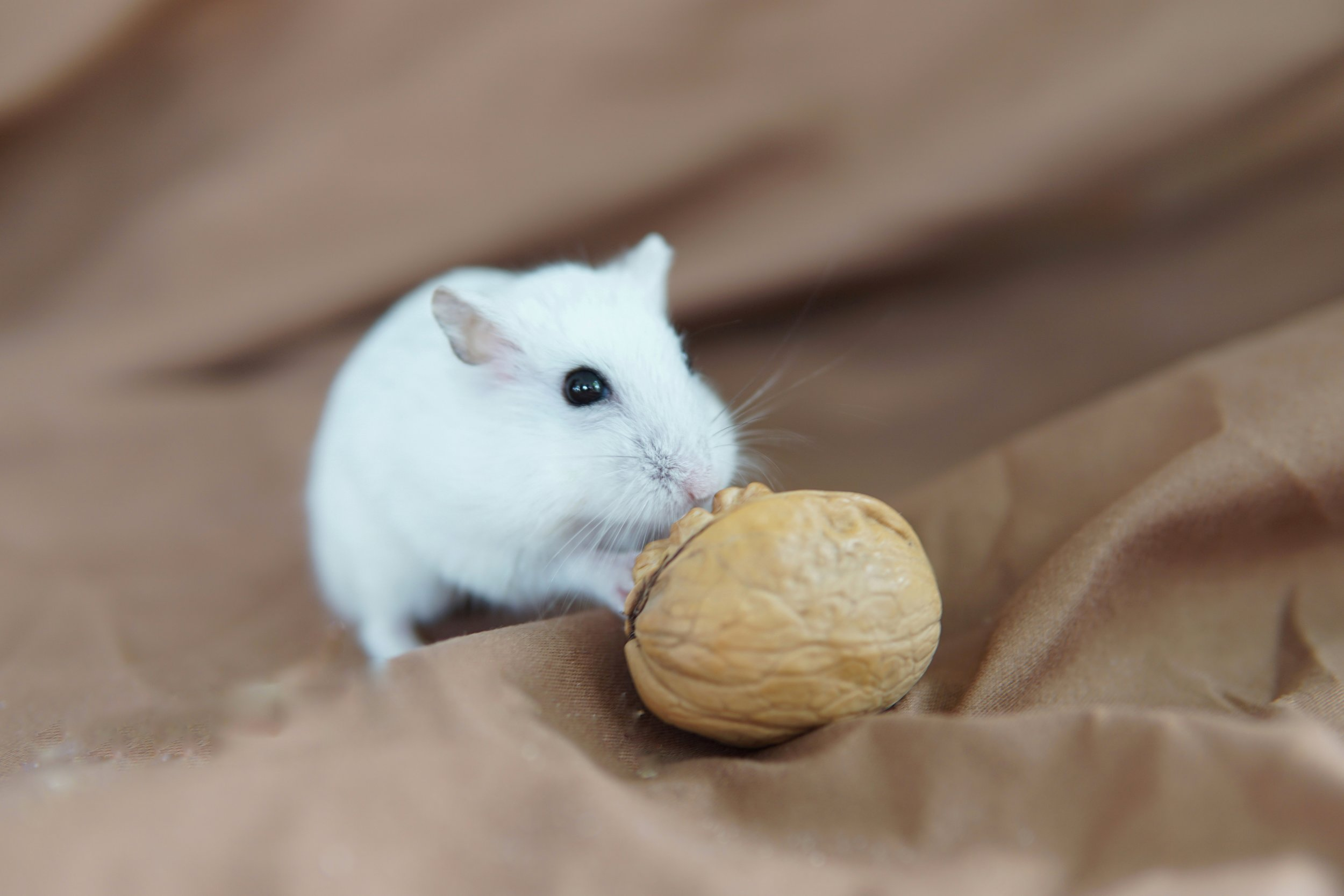 Common Hamster Illnesses — Hamster Society (Singapore)