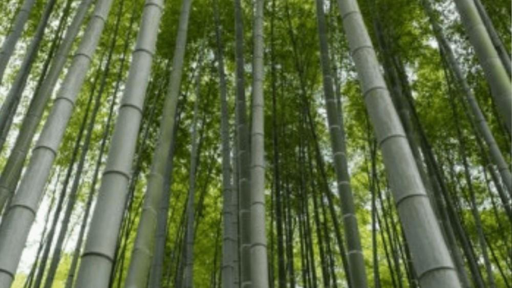 een bos vol bamboe