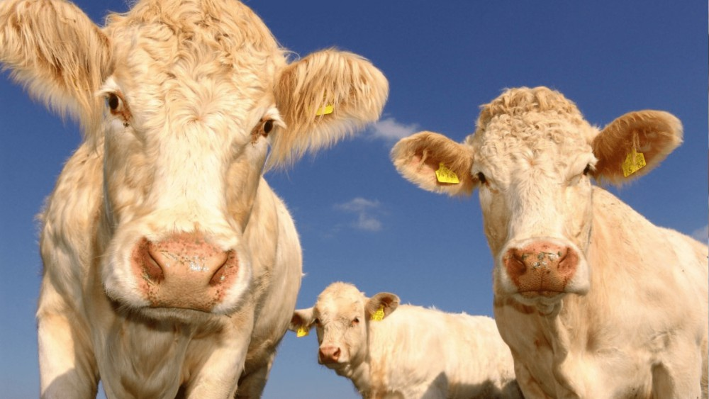 koeien die staren in de camera met een blauwe lucht op de achtergrond