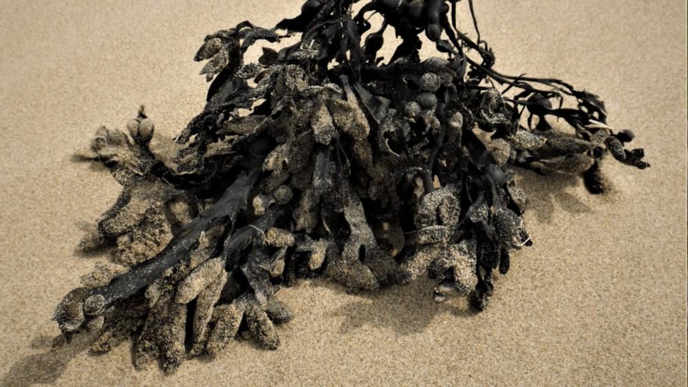 zeewier dat op het zand ligt