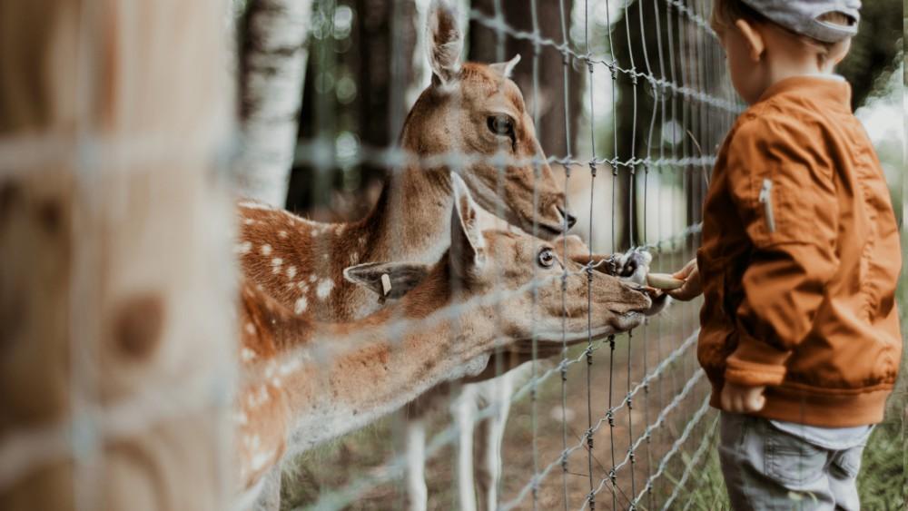 herten die kop door het hek uitsteken om door het jongetje gevoederd te worden